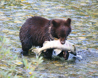 Bear cub with salmon Cub with trophy.jpg