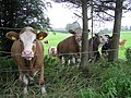 Curious cows, Killycloghy - geograph.org.uk - 920928.jpg