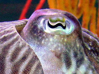 Cephalopod - A cuttlefish with W-shaped pupils which may help them discriminate colors.