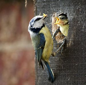 Eurasian blue tit - Feeding the young at a nest box in England