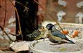 Cyanistes caeruleus -Norfolk, England -adult feeding chick-8 (4).jpg