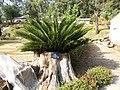 Cycas Revoluta - panoramio.jpg