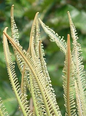Cycas circinalis - Image: Cycas circinalis at Kadavoor