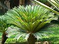 Cycas revoluta (466154979).jpg