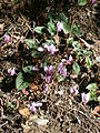 Cyclamen hederifolium group RHu.JPG