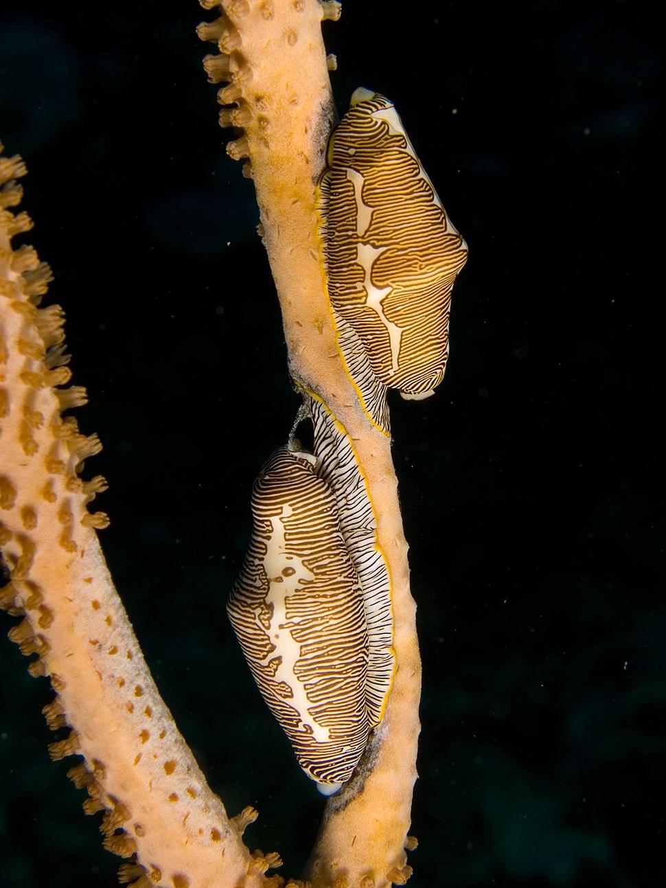 Cyphoma signata (Fingerprint Cowry) pair