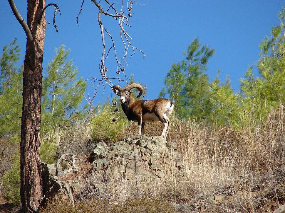 Cyprus wild mouflon Agrino