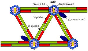 Spectrin - A schematic diagram of spectrin and other cytoskeletal molecules