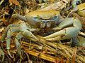 Décapode (Crabe de terre).jpg