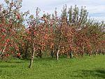 D-BW-Kressbronn am Bodensee - Apfelplantage 0549.JPG