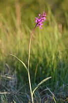 Dactylorhiza russowii plant- Niitvälja bog.jpg