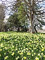 Daffodils, Scotland.jpg