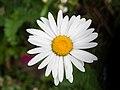 Daisy in Aspen (91182).jpg