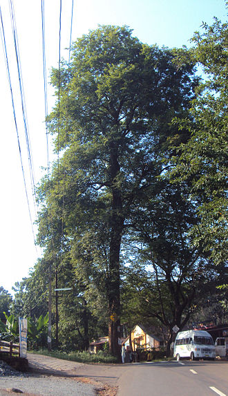 Dalbergia latifolia - Dalbergia latifolia growing as a street tree in Peravoor, India.