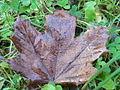 Damp leaf.JPG