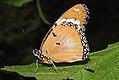 Danaid Eggfly Hypolimnas misippus Female UN by Dr. Raju Kasambe DSCN2439 (1).jpg