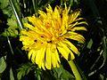 Dandelion (Taraxacum officinale) near Walkern.jpg