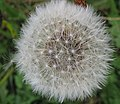 Dandelion Seedhead - geograph.org.uk - 578968.jpg