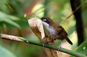 Dark-fronted babbler - Rhopocichla atriceps nigrifrons at Kanneliya Forest Reserve, Sri Lanka