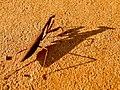 Dark brown mantis and shadow - 1.jpg
