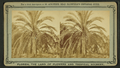 Date tree, on Mrs Harriet Beecher Stowe's Place, from Robert N. Dennis collection of stereoscopic views.png