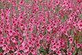 Daydream Diascia Fetcaniensis @ National Botanic Garden Of Wales (3706952568).jpg