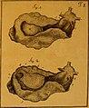 De quibusdam animalibus marinis, eorumque proprietatibus, orbi litterario vel nondum vel minus notis, liber - cum nonnullis tabulis aeri incisis, ab auctore super vivis animalibus delineatis (1761) (20239105793).jpg