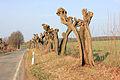 Dead trees on a road (Barras).jpg