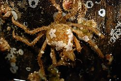 Decorator crab (Oregonia gracilis) covered with baby sea stars.jpg