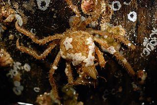 <i>Oregonia</i> (genus) genus of crustaceans