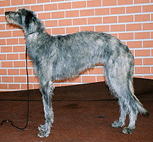 Un Deerhound