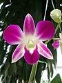 Dendrobium cultivar (5).JPG