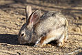 Desert Cottontail Rabbit.jpg