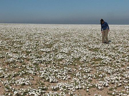 Desierto Florido en Bahía Salada, Región de Atacama (2).JPG