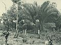 Deutsch-Ostafrika, Ostafrikanische Nutzpflanzen (Busse) - Tafel 39 - Raphia-Palmen.jpg