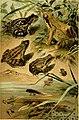 Deutschlands Amphibien und Reptilien (1890) (20888494775).jpg