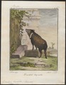 Dicotyles torquatus - 1700-1880 - Print - Iconographia Zoologica - Special Collections University of Amsterdam - UBA01 IZ21900211.tif