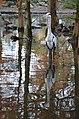 Dierenpark Emmen Reflection of a bird (10930386904).jpg