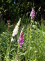 Digitalis-stora hultrum.sweden-02.jpg