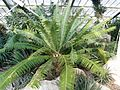 Dioon spinulosum RBGK.JPG