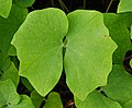Disporum sessile 'Cricket' Leaf.JPG