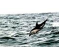 Dolphins (21056089).jpeg