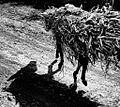 Donkey Shadow, Ethiopia (15362505837).jpg
