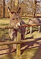 Donkeys at Felbrigg Hall, Norfolk - geograph.org.uk - 687689.jpg