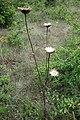 Doroncium, familija Asteraceae 01.jpg