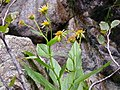 Doronicum corsicum.jpg