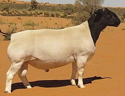 Dorper ram in the Kalahari - South Africa .jpg