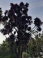Dracaena Dargo (Dragon Tree).jpg