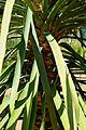 Dracaena draco in Jardin des Plantes de Toulouse 02.jpg
