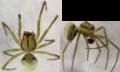 Drapetisca australis male rev.png
